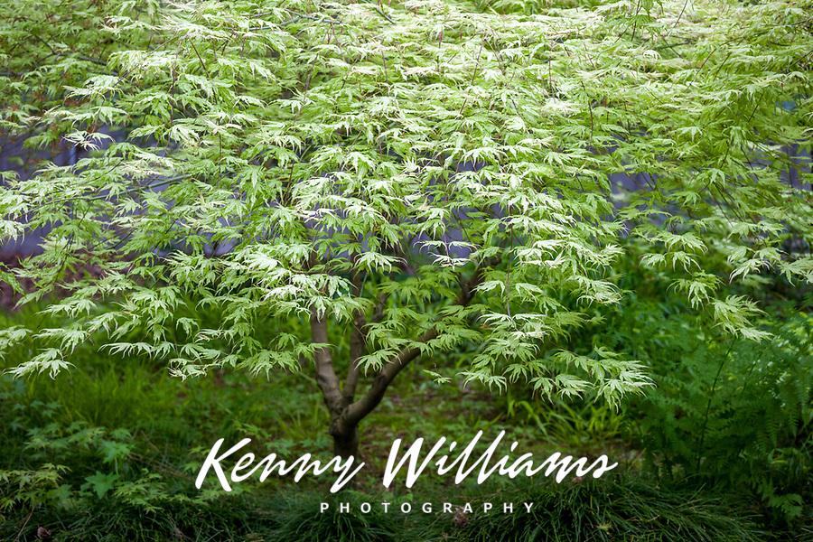 Lush Green Maple Tree, Seattle, WA, USA.