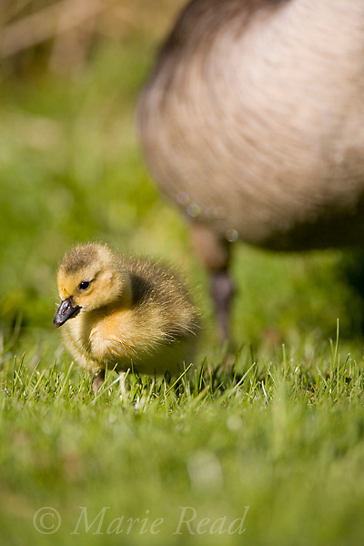 Canada Goose (Branta canadensis) gosling at its parent's feet, Ithaca, New York, USA