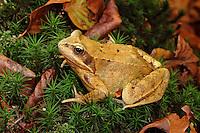 Grasfrosch, Gras-Frosch, Frosch, Frösche, Rana temporaria, European Common Frog, European Common Brown Frog