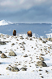 USA, Wyoming, Yellowstone National Park, bison gather on a rocky ridge, looking towards Hellroaring Mountain, Blacktail Deer Plateau