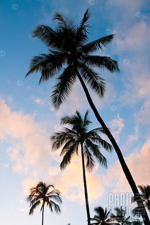 Coconut (or niu) trees on Kaua'i.