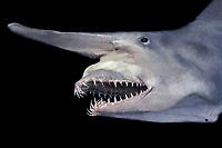 goblin shark, Mitsukurina owstoni, specimen (dc)