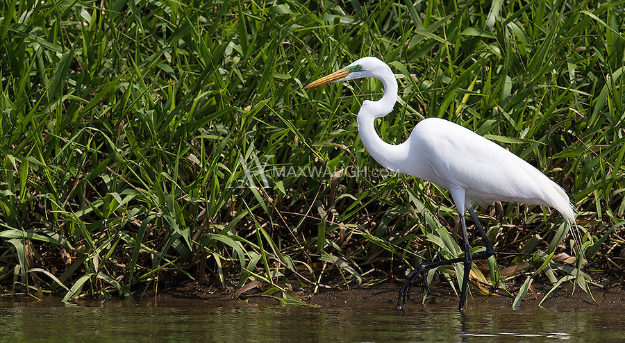 The Great egret is one of many shorebirds found along the Rio Tarcoles.