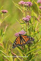 03536-05416 Monarch Butterfly (Danus plexippus) on Swamp Milkweed (Asclepias incarnata), Marion Co., IL