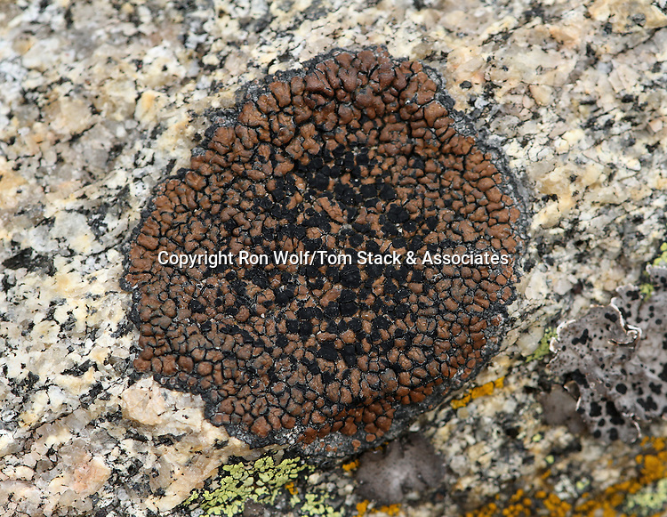 Brown Tile Lichen (Lecidea atrobrunnea) on a granite outcrop. Mount Evans. Arapaho National Forest. Clear Creek Co., Colo.