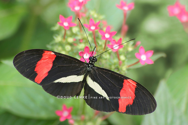 Small Butterfly, Erato Heliconian, Heliconius erato, Nectaring On Pink Flowers, Longwing
