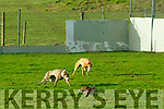 Action from the Kingdom Cup coursing meeting at Ballybeggan Park, Tralee on Wednesday last.