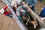 Overhead view of bull rider in bucking chute at Mareeba Rodeo.  Mareeba, Queensland, Australia
