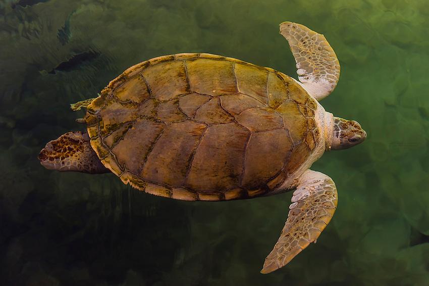 Sea turtles, Xcaret Park (Eco-archaeological Theme park), Riviera Maya, Quintana Roo, Mexico.