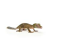 Leaf-tailed Gecko, Uroplatus silcorae