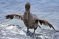flightless cormorant, or Galapagos cormorant, Phalacrocorax harrisi, drying wings, Punta Espinoza, Fernandina Island, Galapagos Islands, Ecuador, Pacific Ocean