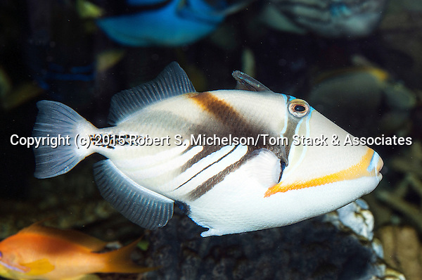 Picasso triggerfish swimming right