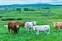 Bull tethered with nose ring and chain in with herd of cows in County Clare, West of Ireland