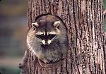 Raccoon at tree hole