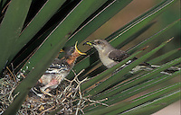 Northern Mockingbird, Mimus polyglottos,adult at nest feeding young, Rio Grande Valley, Texas, USA