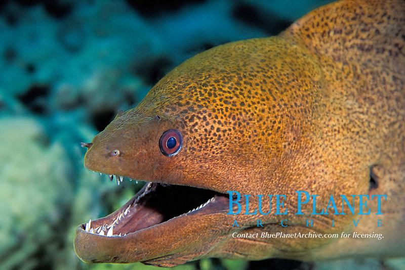 giant moray, Gymnothorax javanicus, The Cod Hole, northern Great Barrier Reef, Australia (Western Pacific Ocean)