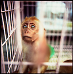 Jakarta, Indonesia. August, 2000. A monkey sits in a  cage for sale on Jalan Balito, Jakarta. The illegal animal trade has flourished since Suharto resigned from office in 1998 a result of the Asian economic crisis.