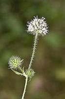 Small Teasel - Dipsacus pilosus