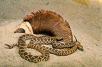 MOJAVE RATTLESNAKES & Bighorn sheep skull..Nevada to Mexico. Captive snakes..Crotalus scutulatus.