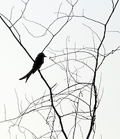 Stock photo: Black-drongo silhouette sitting on dry branch at the dusk. Abstract image.
