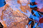 Leaves Under Ice