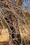 Israel, the Upper Galilee. Hawthorn tree (Crataegus Azarolus) on Mount Meron