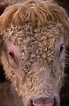 A3AAYF Hereford bull face close up