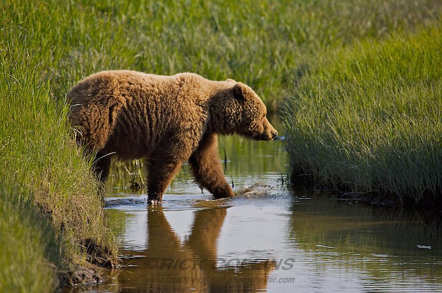 A coastal brown bear crosses the slough in the sedging fields at Lake Clark National Park, Alaska.