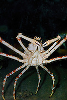 Japanese spider crab, Macrocheira kaempferi, endemic to Japan (c)