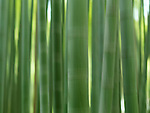 Bamboo forest abstract closeup of green stems with artistic motion blur