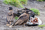 Turkey Vulture & Striated Caracaras Feeding On Upland Goose
