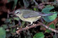 Black-throated Blue Warbler - Setophaga caerulescens - Adult female