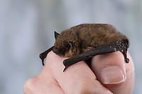 Zwergfledermaus, Zwerg-Fledermaus, zum Größenvergleich auf einer Kinderhand, Pipistrellus pipistrellus, Common pipistrelle, Pipistrelle commune