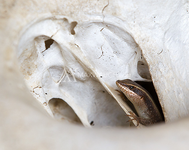 A family of rainbow skinks was living in an elephant skull at MalaMala.