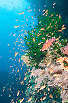 Bligh Waters, Rakiraki, Viti Levu, Fiji; a Coral Grouper and an aggregation of schooling Anthias fish swimming amongst green Black Sun Coral and yellow soft corals