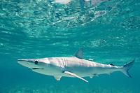 Sharpnose Sharks