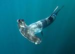 Smooth Hammerhead, Shark Sphyrna zygaena. Sea of Cortez, La Paz, Baja California Sur, Mexico.
