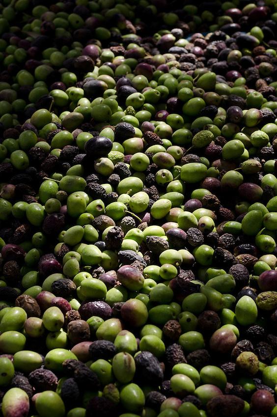 Olives, harvested in the Bedouin village of Lakiya in Israel's Negev Desert.