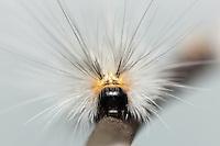 Front view of a Fall Webworm Moth (Hyphantria cunea) caterpillar, Great Smoky Mountains National Park