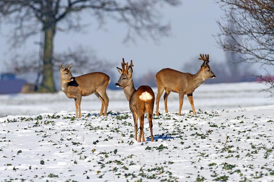 Europäisches Reh im Schnee, Winter, Rehwild, Rehe, Reh-Wild, Bock, Rehbock und Rehricke, Ricke, Weibchen, Männchen, Capreolus capreolus, roe deer, snow