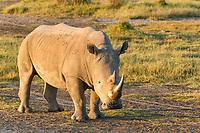 White rhinoceros or square-lipped rhinoceros (Ceratotherium simum), Lake Nakuru National Park, Kenya, Africa