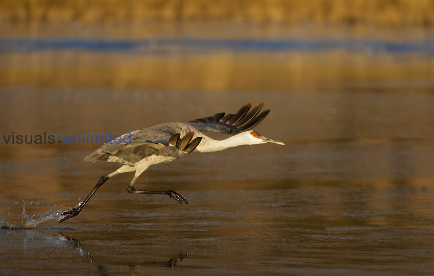 Sandhill Crane taking off from water ,Grus canadensis, USA.