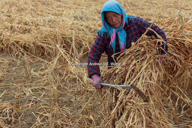 A local farmer, who are practising eco-agriculture, harvests millet in Alxa Left Banner, Inner Mongolia, China, October 2017.
