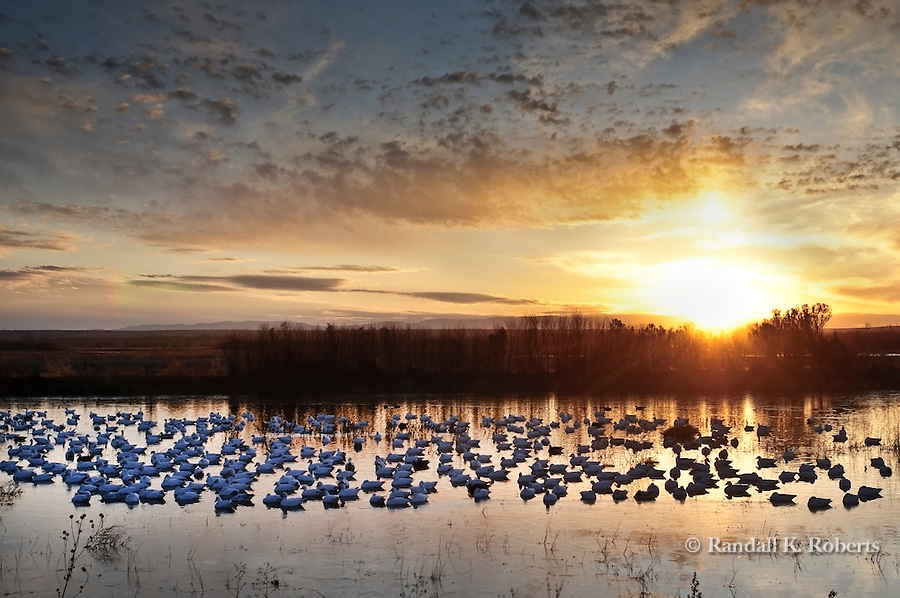 Sunrise over snow geese and Bosque del Apache National Wildlife Refuge, near Socorro, New Mexico