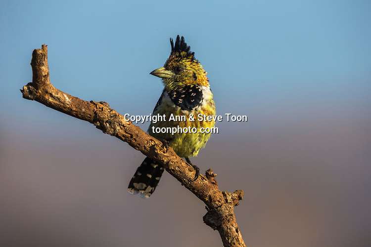 Crested barbet (Trachyphonus vaillantii), Zimanga private game reserve, KwaZulu-Natal, South Africa, June 2017