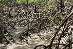 Cooya Beach, Port Douglas, Australia; mangrove roots exposed at low tide