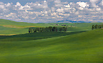 Whitman County, WA<br /> Line of trees on a ridge among the rolling hills of the Palouse