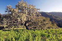 Coast live oak on the Santa Lucia Preserve, Carmel, California.