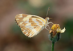 Belenois sp. Butterfly, on flower, side view, West Africa.Gambia....