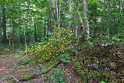 In 2011, Tropical Storm Irene washed out part of the Mt Tecumseh Trail in Waterville Valley, New Hampshire. This is how part of the rerouted section looked in September 2011. This brush is dropped on the side of the trail. Proper technique is to pick up all branches and scatter them off the trail with the cut ends facing into the woods away from the trail. Update 2017: After 5-6 years, this pile of brush has finally been picked up and properly scattered off the trail per basic trail maintenance guidelines.